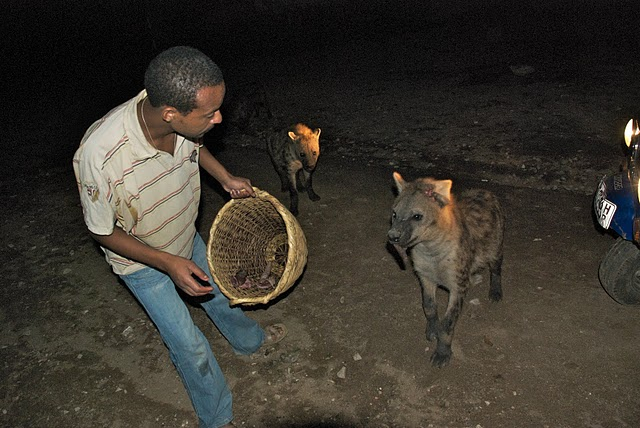feeding wild hyenas in harar, ethiopia