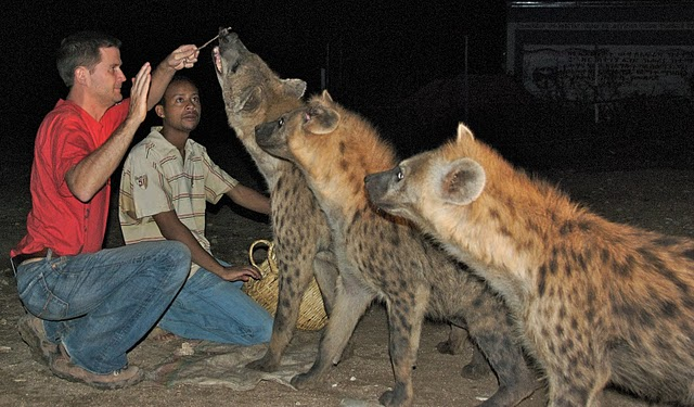 michael hodson feeding wild hyenas in harar, ethiopia