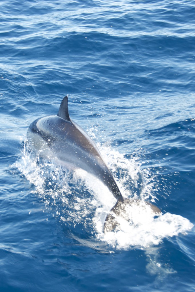 we were follow this pod of common dolphins around, so unfortunately this shot is from behind