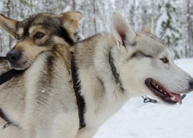 dog sled finland huskies