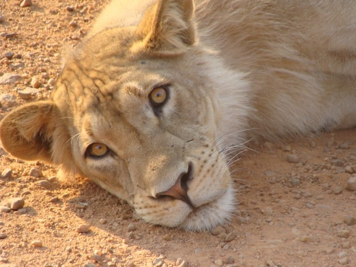 Lion in South Luangwa