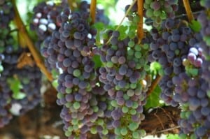 pinot noir wine grapes new zealand
