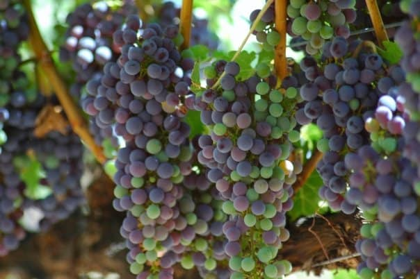 pinot noir wine grapes