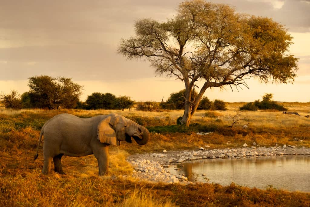 elephant at sunset watering hole in namibia