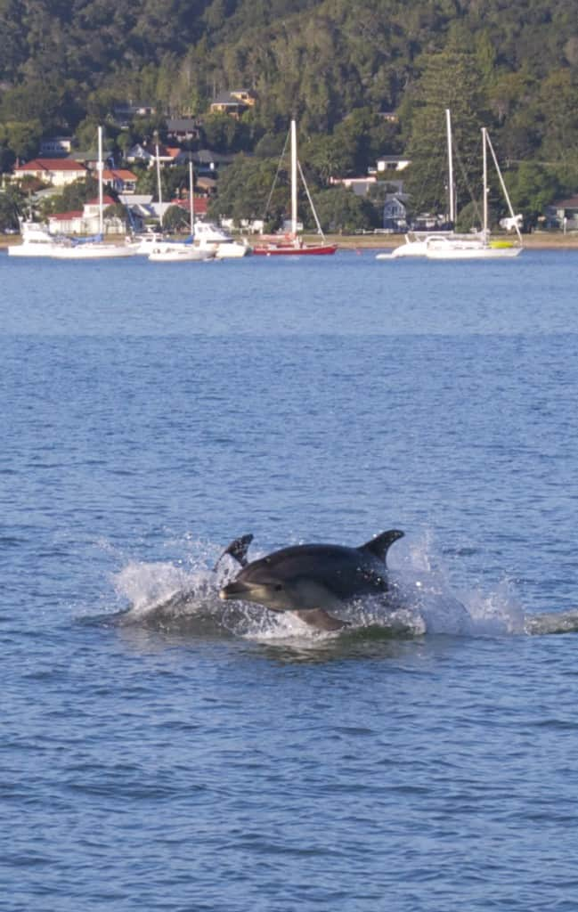 dolphin jumping on cruise Bay of Islands, Paihai, New Zealand