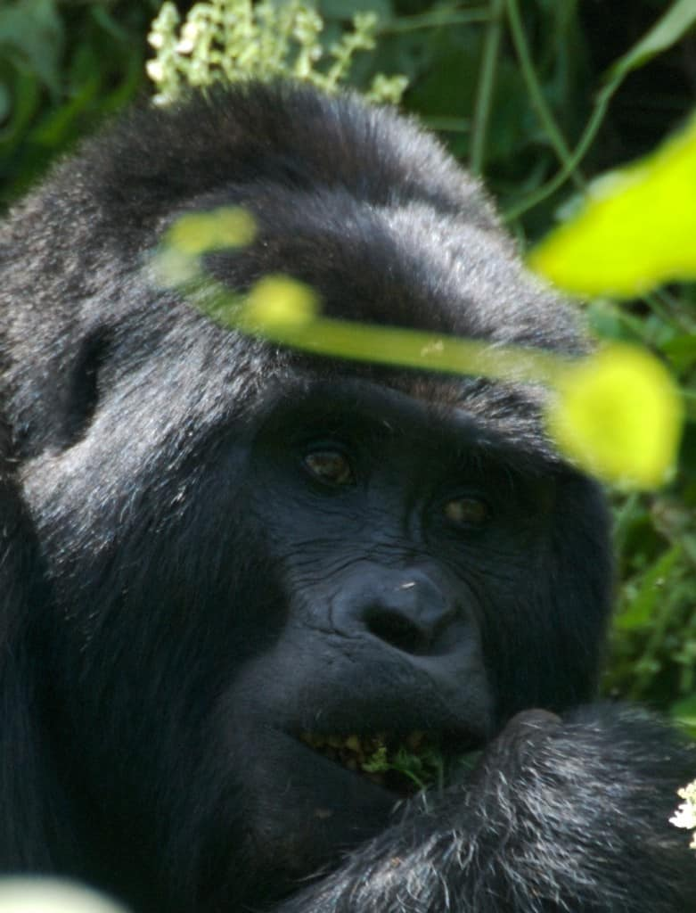 mountain gorilla in Bwindi Impenetrable Park in uganda