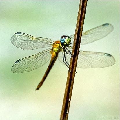 yellow dragonfly macro