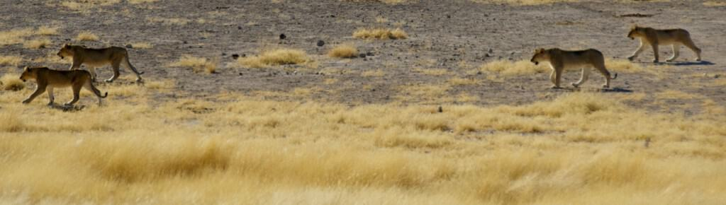 lions walking from watering hole namib