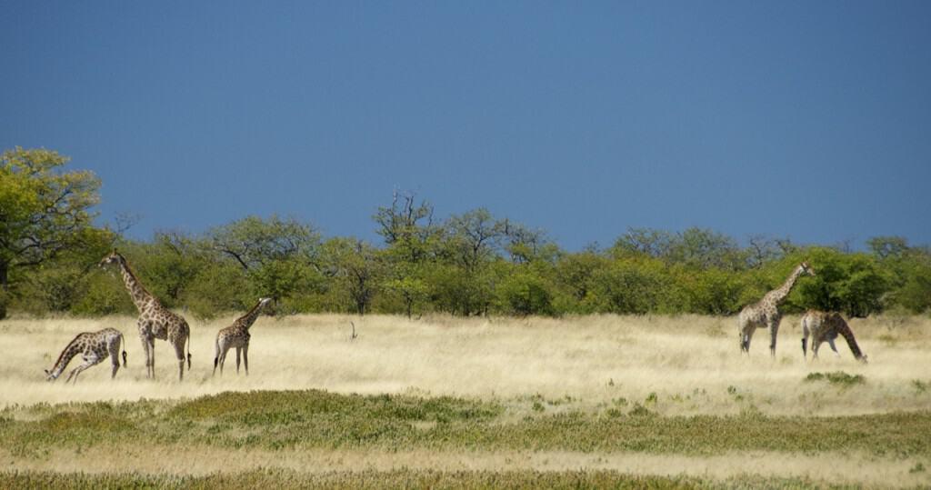 namibian giraffes