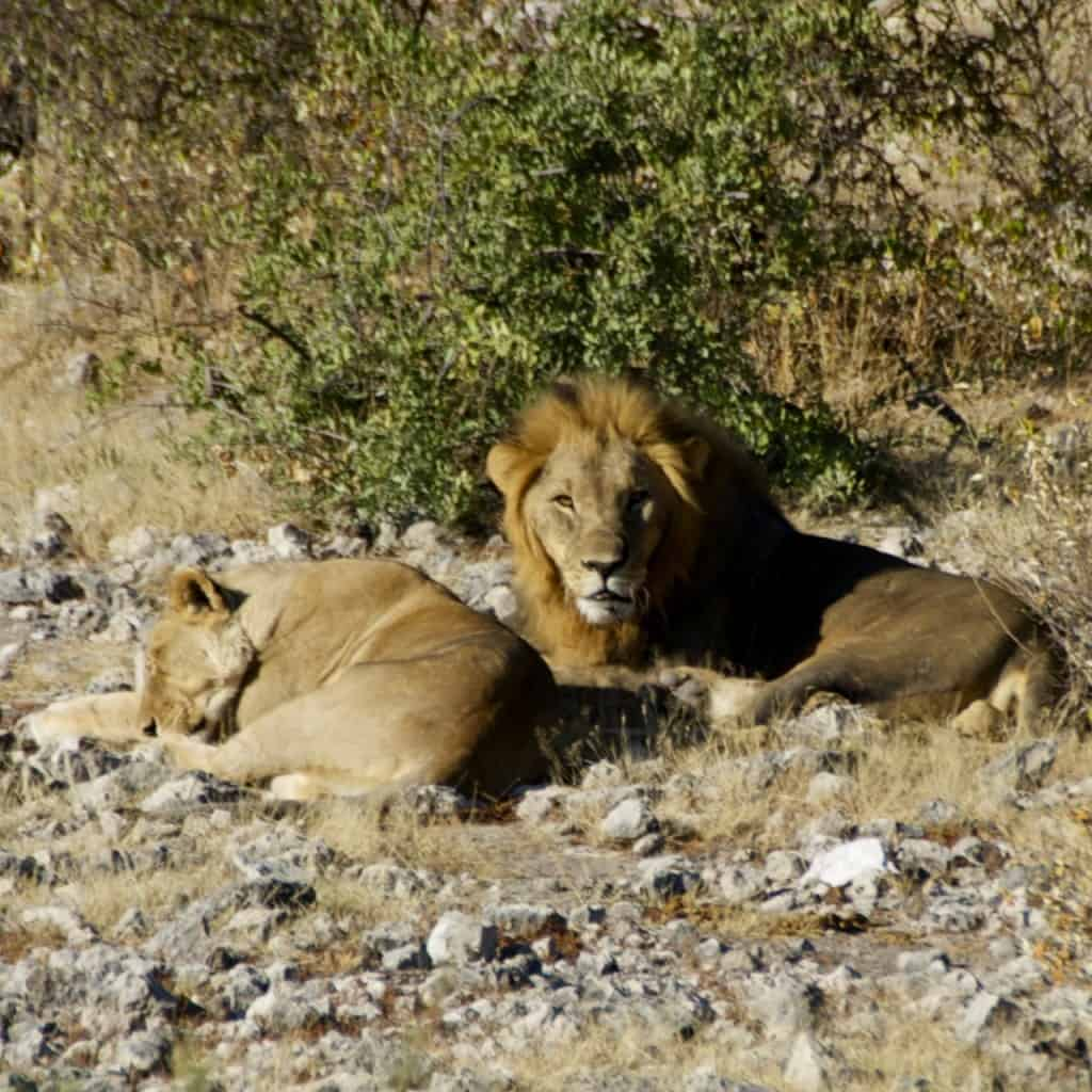 male lion guarding female lion looking at camera in namibia