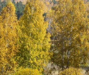 yellow trees in autumn in russia