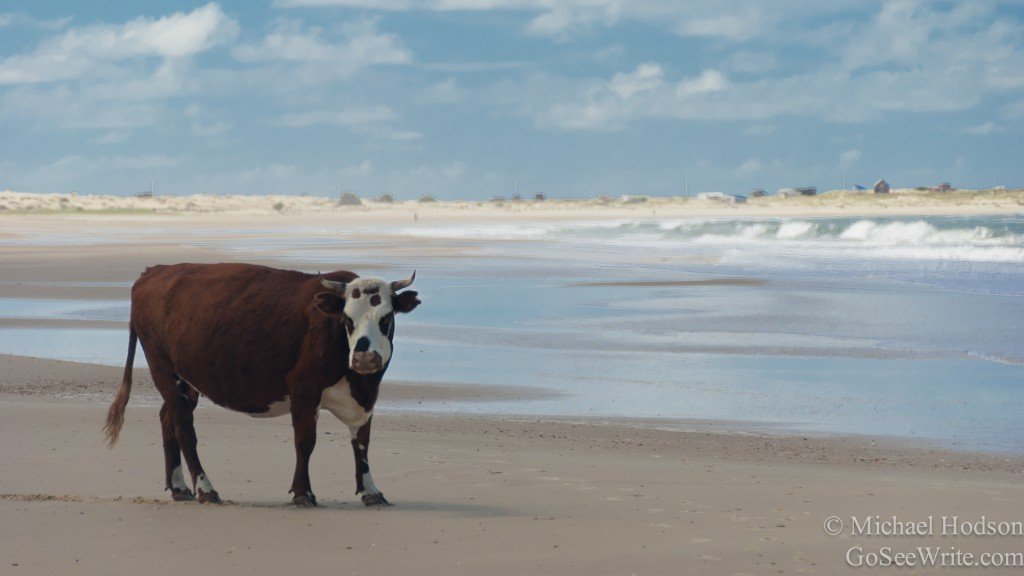 cow on cabo polonio beach