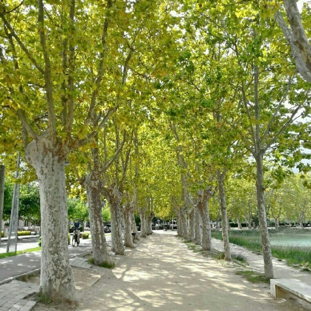 line of green mature trees in costa brava