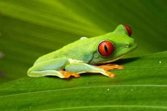 costa rica frog