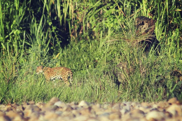 Jaguar Spotting in Peru