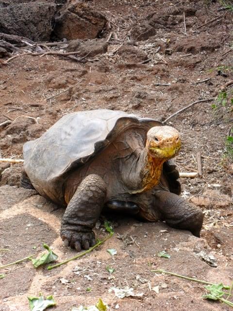 Galapagos tortoise