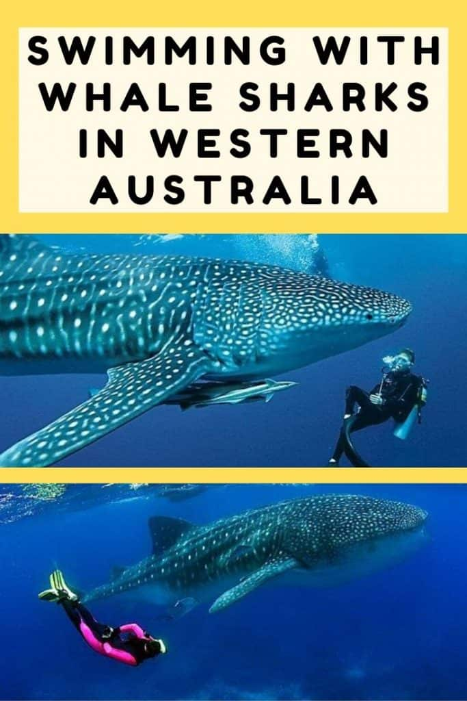 Swimming with whale sharks in Western Australia