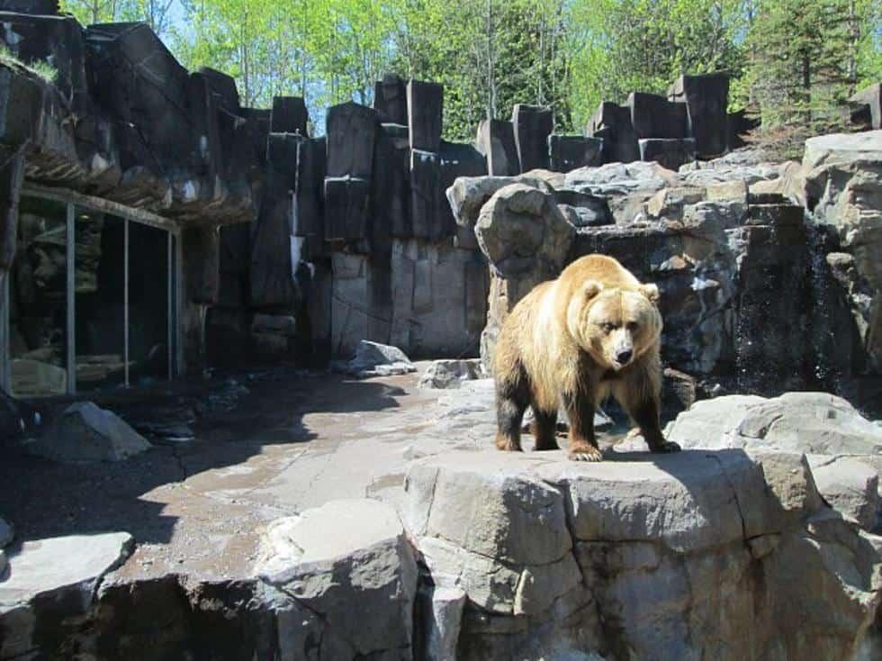 bear at Lake Superior Zoo